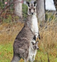 200px-kangaroo_and_joey031-199x300